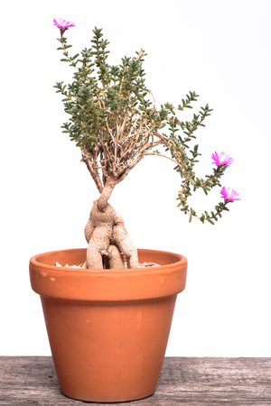 Sukkulent plant Trichidiadema bulbosum with violet flowers in a orange crock