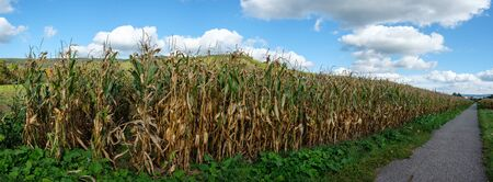 Panorama of cornfield with feed corn in agriculture with clouds and blue sky Stock Photo