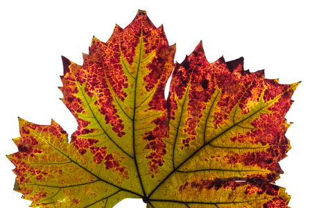 Discoloration wine leaf with nervures in green and red in autumn