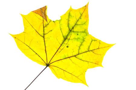격리 된 혈관 흰색으로가 [NULL]에 노란색 단풍 나무 잎