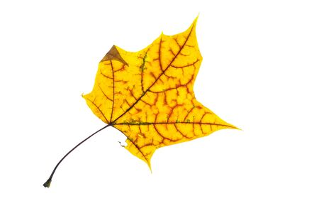 Yellow maple leaf with red veins in autmn colouring white isolated Zdjęcie Seryjne - 92523338