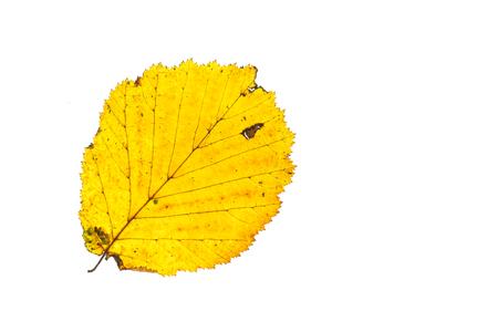 고립 된 색칠가 색 헤이즐넛 나무의 노란 잎
