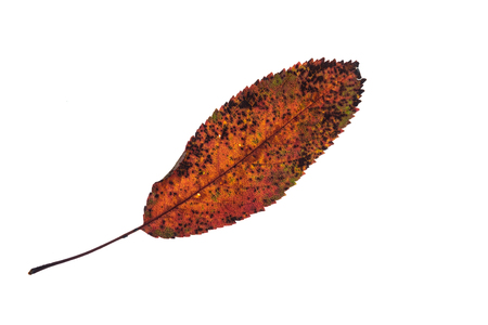 Elliptical toothed fruit tree leaf in orange brown autumn colouring