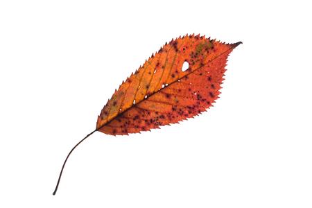Hoja Elíptica Dentada Del árbol Frutal En Naranja Otoño Marrón ...