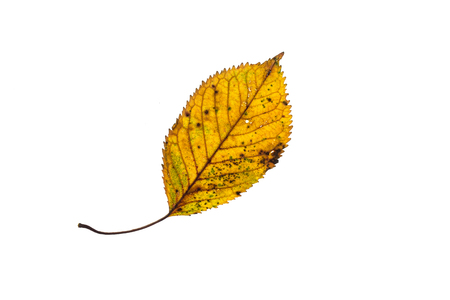 Yellow hornbeam leaf in autumn colouring white isolated