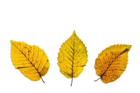 Yellow leaves of hornbeam tree with green and brown stains in autumn white isolated