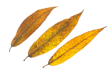 Yellow colouring of a willow leaves in autumn white isolated