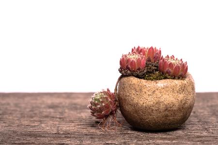 Little houseleek (Sempervivum) with layer in a pot