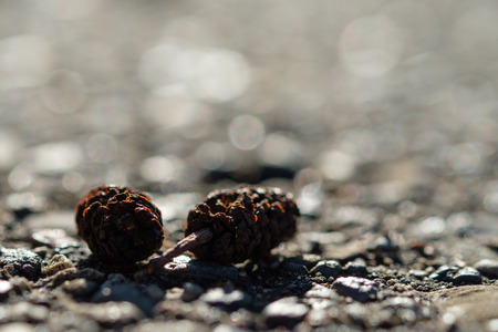 Cone and fruits of a black alder tree on a track in the back lit