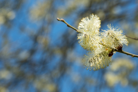 Twig of a willow (Salix) with willow catkin in spring