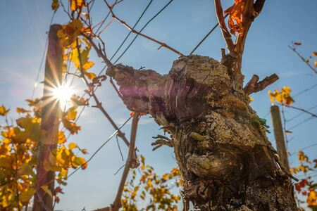 Old weathered grape in autumn in a vineyard with sunbeams in back lit 版權商用圖片