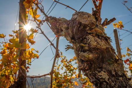 Gnarled grape with wine leaves in autumn vineyard with sunbeams 版權商用圖片