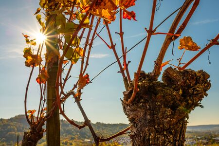 Old grape with wine leaves in autumn with sunbeams in the sky