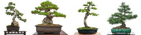 Bonsai conifer trees white isolated panorama