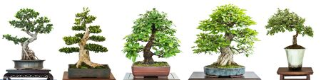 Bonsai deciduous trees at a exhibition white isolated