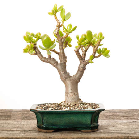 Crassula ovata money tree as bonsai in a pot