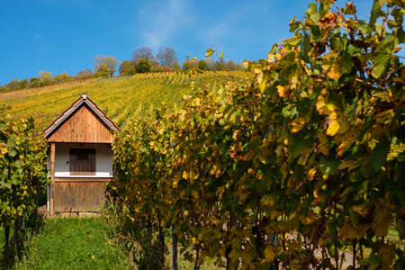 Hut in vineyard autumn with grapevines