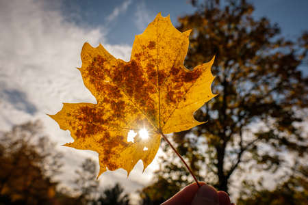 Yellow maple leaf in autumn with fingers in back lit