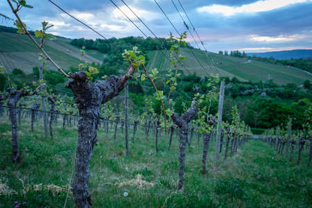 Gnarled vine in vineyard with gray clouds landcape