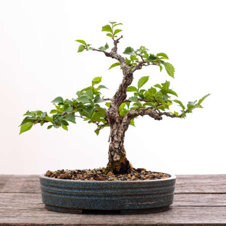 Chinese elm bonsai tree on wooden board
