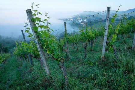 Morning mist in a vineyard landscape Imagens