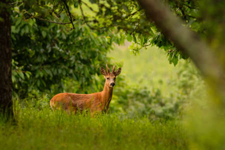 Roebuck on a green meadow with trees Stock Photo