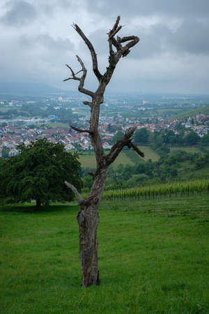 Old dead fruit tree on a green meadow vertical format