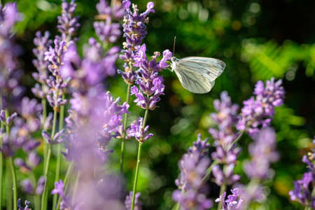 Cabbage white butterfly insect at a lavender plant