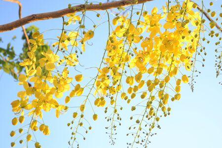 golden shower: Golden shower bloom among the sunlight