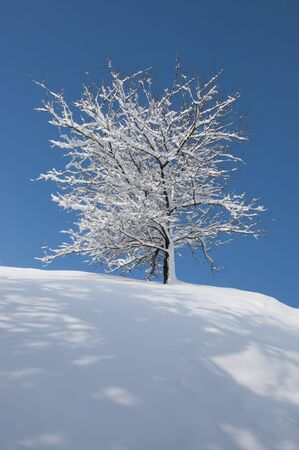 solemnity: Snow-covered tree