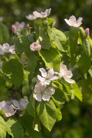 membrillo: floración membrillo arbusto