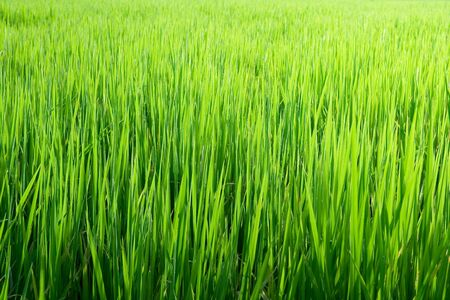 rice seedlings in the field Stock Photo - 7413211