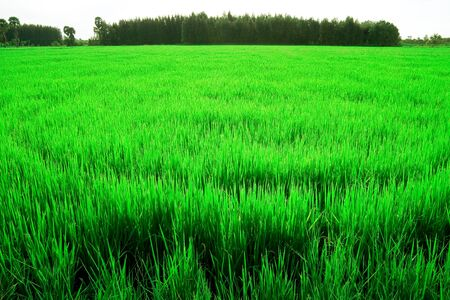 rice seedlings in the field Stock Photo - 7413206