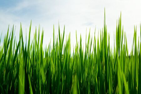 rice seedlings to the sky background Stock Photo - 7413191