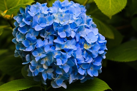 Blooming Hydrangea in Japan
