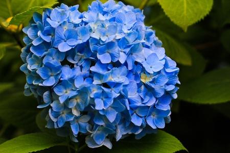 hydrangea: Blooming Hydrangea in Japan Stock Photo
