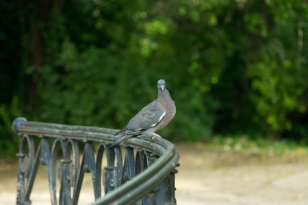 dove perched on bridge railing in park with water