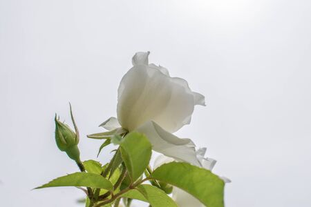 macro detail of white rose with green leaves and white background in summer