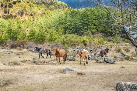 Herd of horses on the way to Taktshang Goemba(Tiger's Nest Monastery), the most famous Monastery in Bhutan, in a mountain cliff, Himalayas Reklamní fotografie