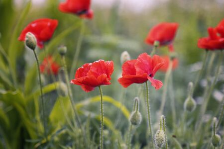 Close up of beautiful red poppy flowers on green nature background, symbol of remembrance and memory.