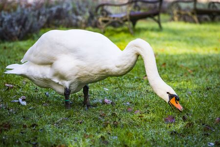 Big white beautiful swan with bird ring or bird band eating the green grass in the city park