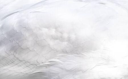Snow white swan wing feather texture background. Archivio Fotografico