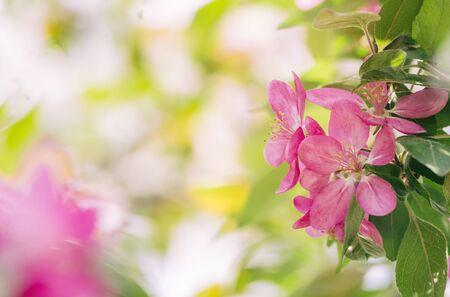 Blooming ornamental paradise apple tree Malus niedzwetzkyana Dieck - pink flowers and leaves, beautiful sunlit bokeh, free space for text.