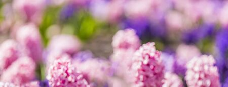 Optically defocused blurred abstract photo of large flower bed with multi-colored hyacinths, traditional easter flowers, flower background, easter spring background. Colorful vibrant flower bokeh. Reklamní fotografie