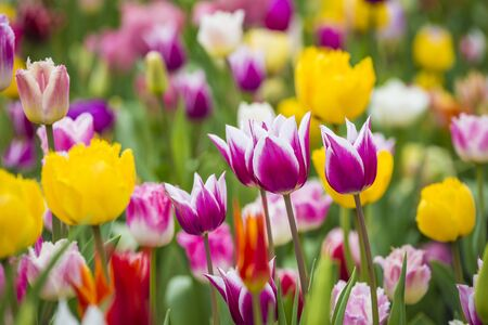 Beautiful bright colorful multicolored yellow, white, red, purple, pink blooming tulips on a large flowerbed in the city garden or flower farm field in springtime. Spring easter flower background. Archivio Fotografico