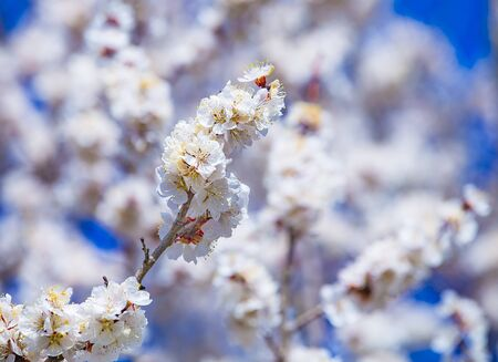 Apricot plum tree Blossom in spring time, beautiful white flowers, soft focus. Macro image with copy space. Natural seasonal spring background.