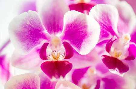 Pink purple white Phalaenopsis or Moth dendrobium Orchid flower in winter in home window tropical garden. Floral nature background. Selective focus.
