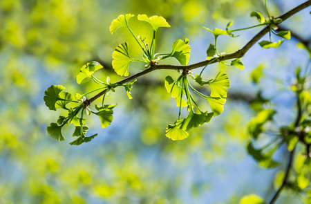 Ginkgo biloba young green leaves on a tree in spring