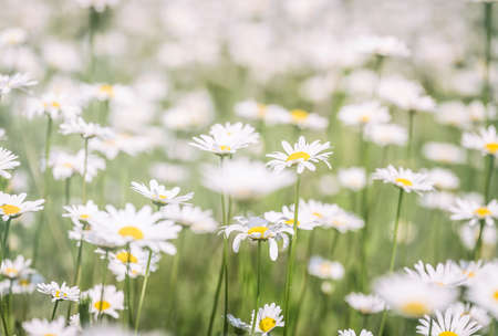 Beautiful chamomile field flowers background. Nature scene with blooming chamomilles in sun flare. Summer flowers. Beautiful meadow summer background Standard-Bild