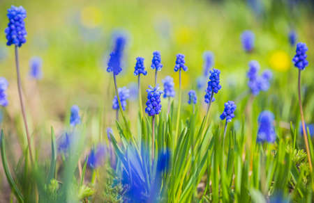 Blue muscari flowers or grape hyacinth blossom outdoor. Colorful floral blue spring background Stockfoto
